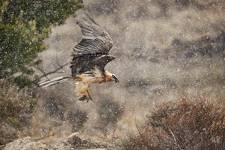 Fotografía de Antonio Vázquez para Nthephoto. Un quebrantahuesos vuela bajo una intensa nevada, llevándose un hueso en sus garras