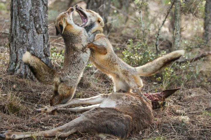Fotografía de Ricardo  Peralta para Nthephoto. Dos zorros se disputan el turno de alimentación.