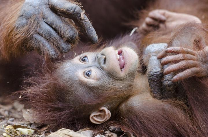 Fotografía de Joan de la Malla para Nthephoto. Cuidados de una madre orangutan a su cría. Indonesia
