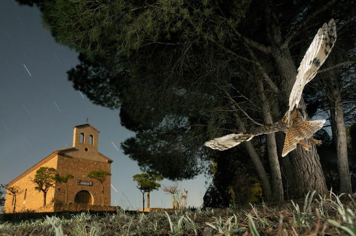 Fotografía de Javier Alonso para Nthephoto. El habitad natural y la nocturnidad del Búho chico hizo posible esta foto combinando las técnicas de alta velocidad y larga exposición.