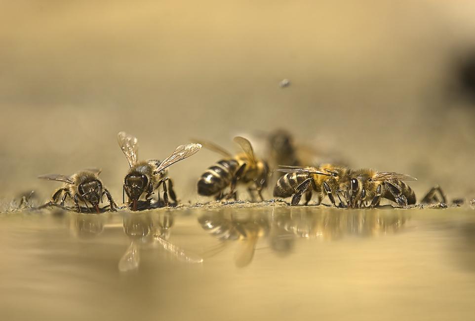 Fotografía de JUAN MANUEL HERNÁNDEZ LÓPEZ para Nthephoto. Aunque no sea mi disciplina habitual la de la fotografía macro, esta imagen también me ha deparado grandes satisfacciones, pues ha recibido recompensa en concursos internacionales de fotografía, como es el concurso Asferico. En ella se muestran unas abejas que, en un caluroso día de verano, acuden a un charco para saciar su sed.