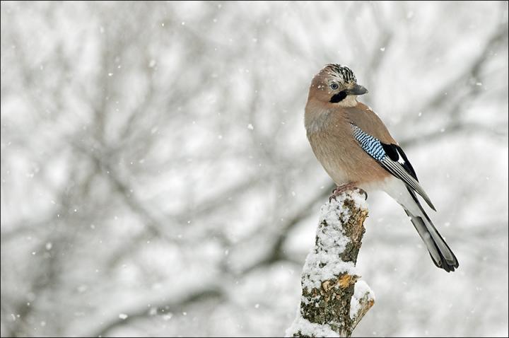Fotografía de Javier Ara para Nthephoto. Arrendajo en un posadero bajo una pequeña nevada.