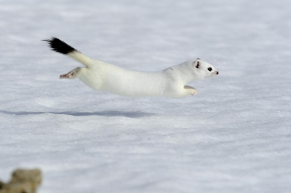 Fotografía de Javier Ara para Nthephoto. Armiño en invierno, siempre de rápidos movimientos, es un reto para el fotógrafo.