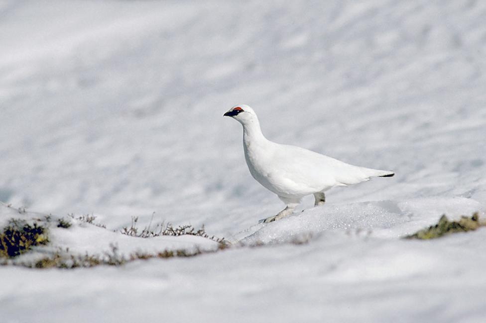 Fotografía de Javier Ara para Nthephoto. Perdiz nival con plumaje invernal.