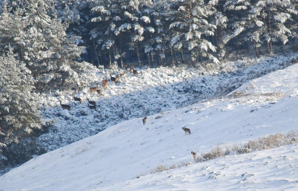Fotografía de Ricardo Ruiz para Nthephoto. En aquel atardecer, la pareja alfa junto a otros lobos componentes del clan del oso, empujan a los ciervos tratando de darles caza. Sin embargo, el sol no se ha ocultado todavía y la desconfianza y el miedo del lobo líder le hace decistir de sus intenciones .