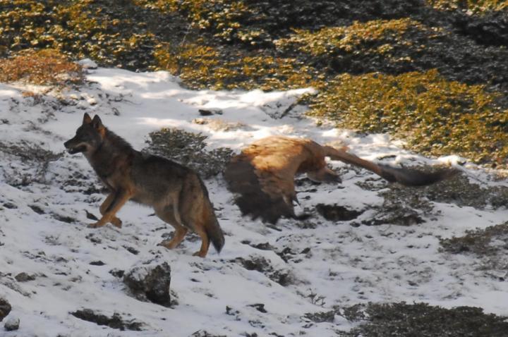 Fotografía de Ricardo Ruiz para Nthephoto. El lobo salvaje es aliado del buitre y se vale de estas aves en numerosas ocasiones para encontrar cadáveres dónde alimentarse. Los buitres se alimentan en numerosas ocasiones de lo que mata el lobo. Unos y otros se necesitan para sobrevivir como en tiempos ancestrales, con la diferencia de que ahora quedan pocos lugares donde coexistan las dos especies.