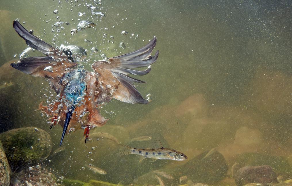 Fotografía de JOSE LUIS RODRIGUEZ para Nthephoto. Martín pescador dentro del agua en un intento fallido de pesca