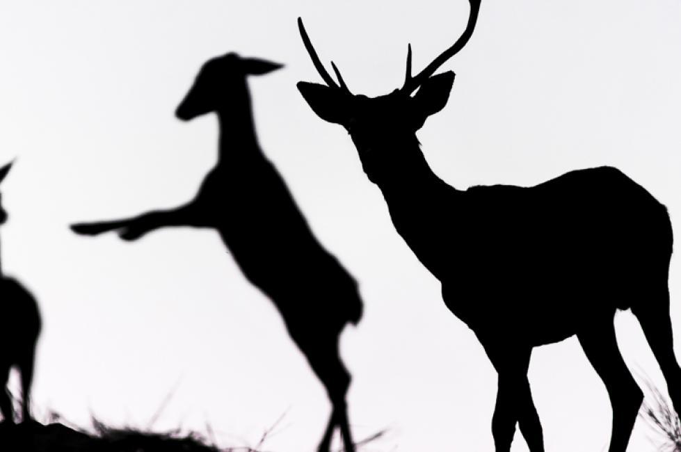 Fotografía de PACO JÁÑEZ RODRÍGUEZ para Nthephoto. Ciervos a contraluz.