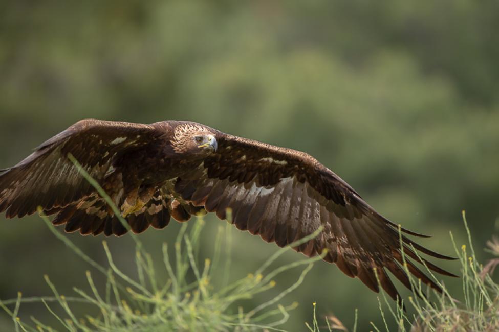 Fotografía de Efren Valiente para Nthephoto. Aguila Real en vuelo.