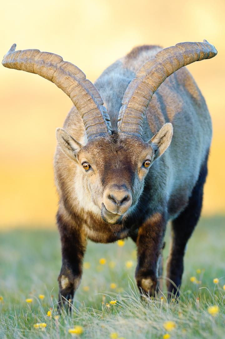 Fotografía de ENRIQUE DEL CAMPO para Nthephoto. Retrato de cabra montés.