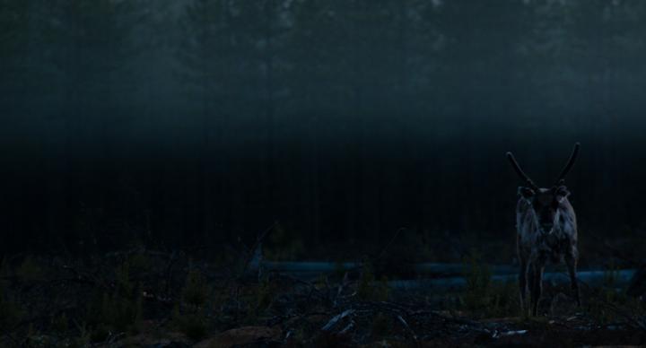 Fotografía de ismaele tortella para Nthephoto. Rena en la oscuridad en los perdidos bosques de la Laponia Sueca