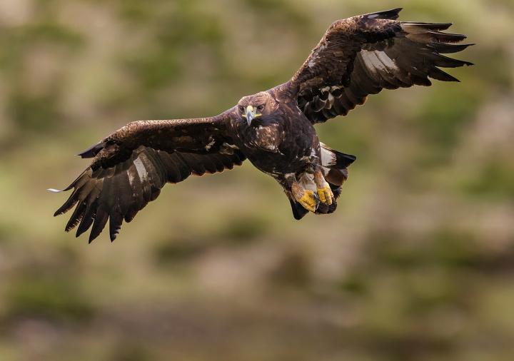 Fotografía de JOSE PESQUERO GOMEZ para Nthephoto. Vuelo frontal de Aguila Real
