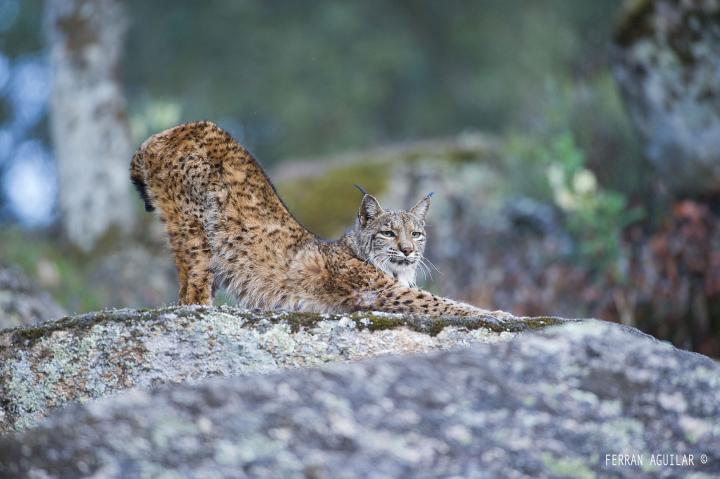 Fotografía de FERRAN AGUILAR para Nthephoto. Lince ibérico en su entorno natural. Parque natural sierra de Andújar.