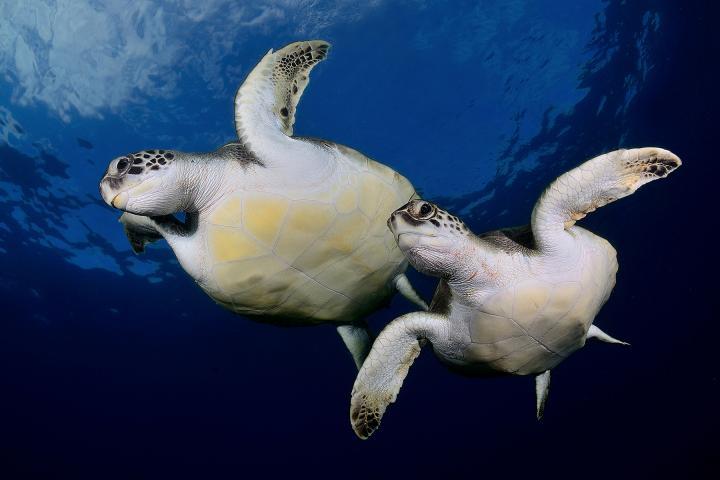 Fotografía de Sergi Garcia para Nthephoto. Sincronizadas. Una pareja de tortugas verdes nadan como si de un ejercicio de natación sincronizada se tratara